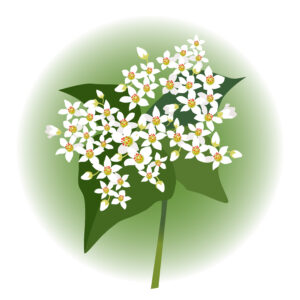 トッケビ 蕎麦の花